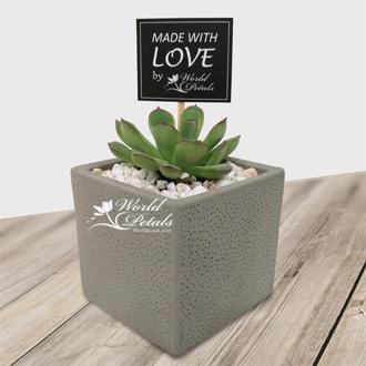 Lust Succulent